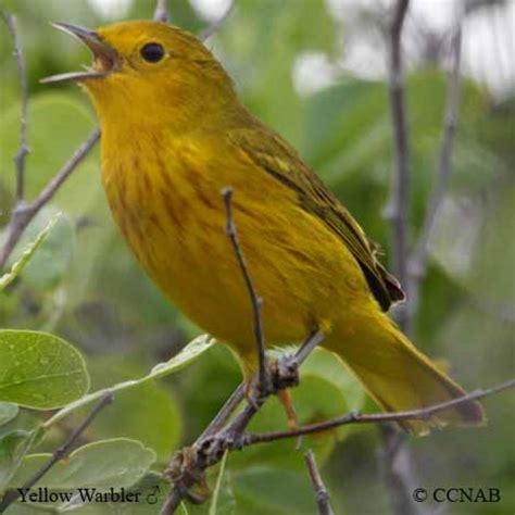 yellow warbler north american birds birds of north america