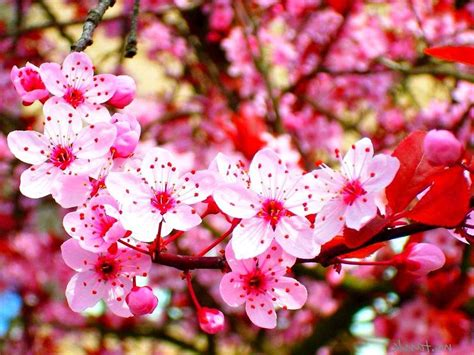 wallpaper bunga download gambar wallpaper bunga sakura jepang cantik caption