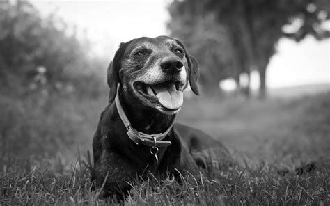 puppy black and white image detail for black and white wallpaper with a