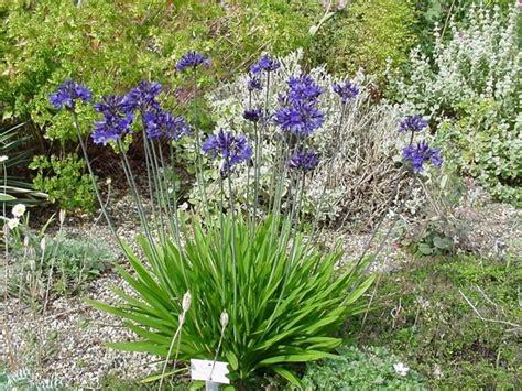 agapanthus fiore agapanto piante perenni pianta agapanthus