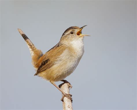 top 28 what does a wren look like 10 000 birds the