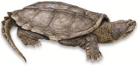 5 turtles and tortoises cheesie mackcheesie mack