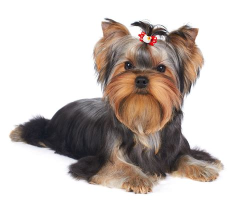 puppy of the yorkshire terrier photograph by konstantin