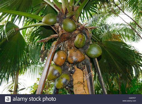 coco de mer fruit coco de mer palm with fruit vallee de mai praslin island