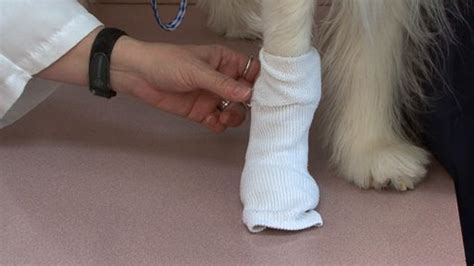 dog care broken  bleeding toe nail monkeysee