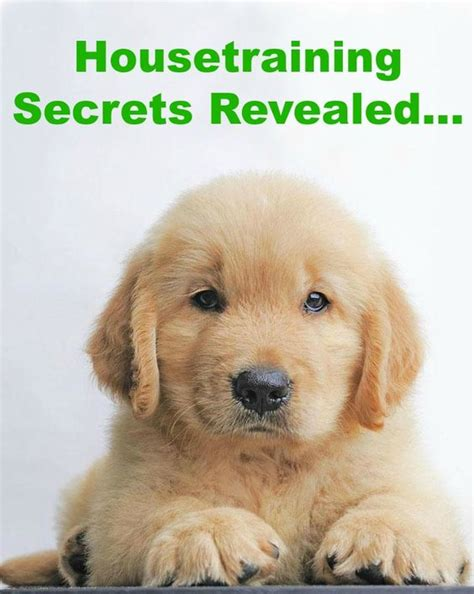 golden retriever potty tips read more and on