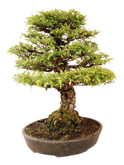 genki bonsai chinesische ulme k ul genki bonsai