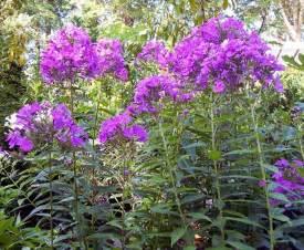 Tall Phlox Flowers - tall purple phlox gardening pinterest
