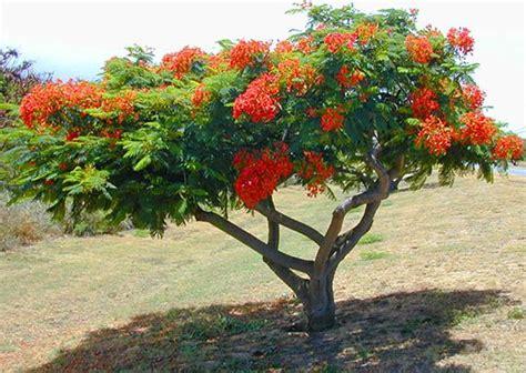 poinsiana tree decorations royal poinciana tree royal poinciana decor garden outside ideas delonix regia plants seeds