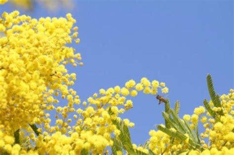 mimosa coltivazione in vaso la mimosa coltivazione e cura