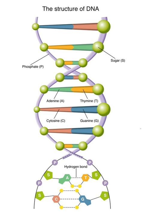 dna diagram science and the bible the human the of