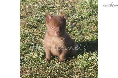schipperke pomeranian mix puppies for sale schipperke puppies white for sale breeds picture