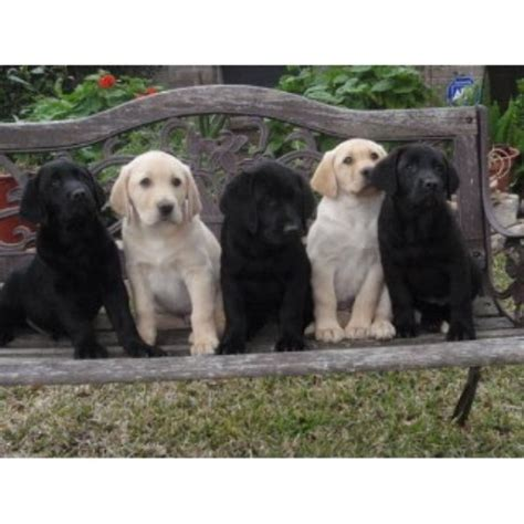 blooded lab puppies for sale in sc labrador retriever lab breeders in louisiana freedoglistings