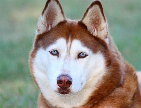7 Facts On Huskies by Best 25 Siberian Husky Facts Ideas On