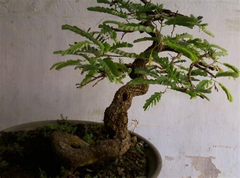 Bakalan Bonsai Asam Jawa 21 tanaman yang biasa ada di taman dan fungsinya