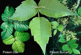 poison ivy oak and sumac information center www feeling itchy learn how to avoid and treat poison ivy