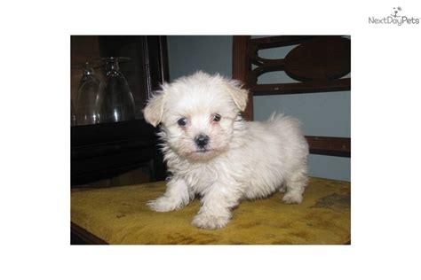 havanese puppies for sale wisconsin havanese puppy for sale near kenosha racine wisconsin 493a26f2 7db1