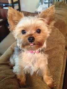 chorkie haircut styles yorkies predicting adult weight yorkie splash and shine