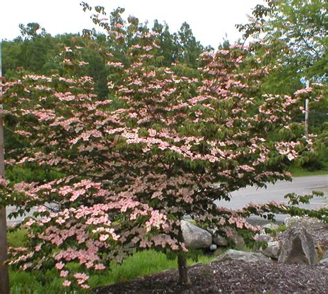 pink dogwood cornus kousa satomi small trees pinterest shape shrubs and nova