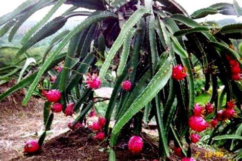 rahasia  pemupukan tanaman buah naga  berbuah