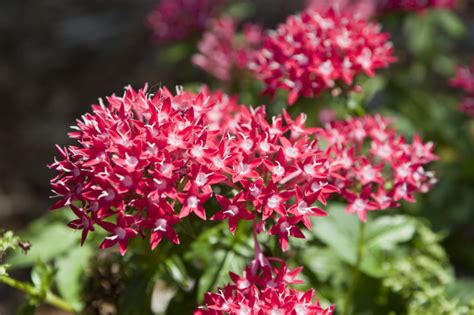 pentas flowers clippix etc educational photos for students and teachers