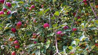 best time to plant fruit trees in michigan florida survival gardening growing apples in florida