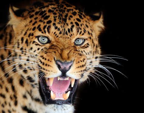 imagenes de tigres leones y leopardos tigres leopardos cecaci computacion