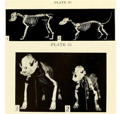 pug skeleton flabador
