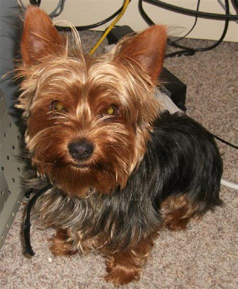 black and brown yorkie lost terrier brown and black michigan humane society
