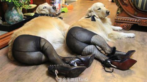 Sexy Dog Meme - dogs wearing pantyhose neatorama