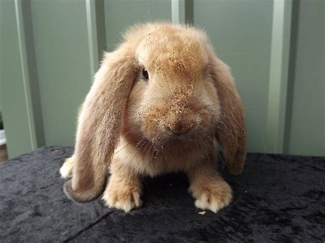 Lop Cd orange lop baby stonehouse gloucestershire