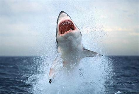 Work Out World Cape Cod - beautiful white shark mouth hd wallpapers images 2013 beautiful and dangerous animals birds hd