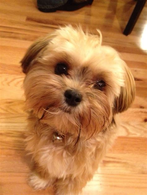 shorkie puppies image gallery shorkie images