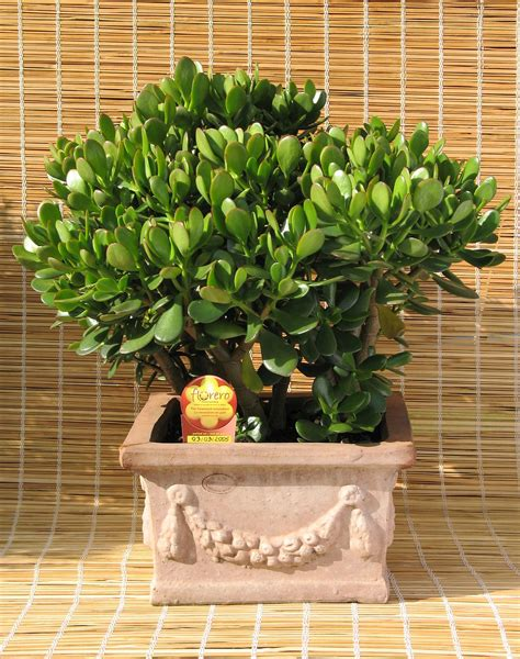 Indoor Succulent Planter by Crassula Ovata