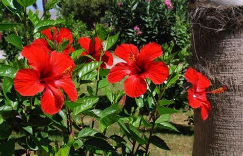 gudal ka photo hibiscus gudhal flower s health benefits in ग डहल क फ ल क इन 13 फ यद क आप नह