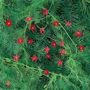 Low Light Climbing Plants - red cypress vine seeds