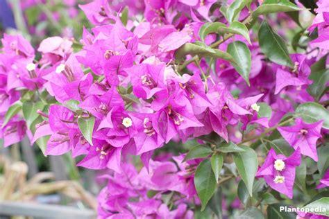 Bougainvillea Schneiden by Drillingsblume Bougainvillea Pflanzen Pflege Und