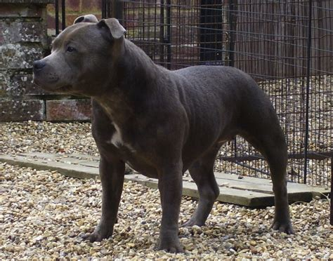 extinct dogs blue paul terrier extinct breed picture