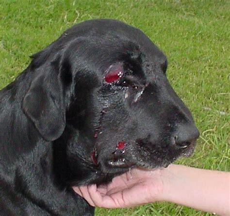 snake bites on dogs rattlesnake bite effects