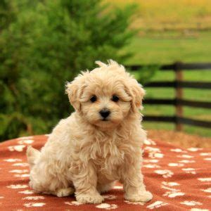 maltipoo puppies for sale in ct maltipoo puppies for sale in pa md ny nj breeds picture
