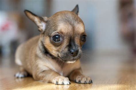 why do dogs shiver why do chihuahuas and other small dogs shiver pets4homes