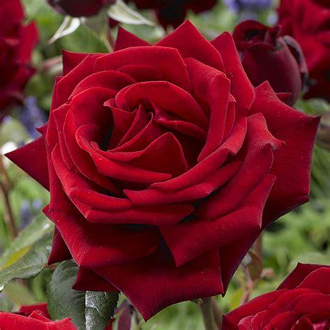 rose  color plant nursery