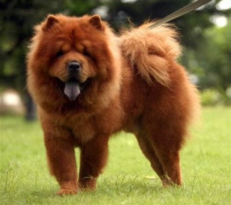 big fluffy breeds big fluffy breeds large breeds