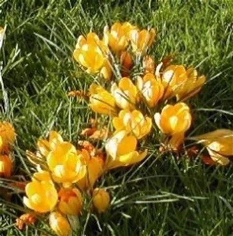 piccola area di terreno con erba e fiori croco crocus crocus bulbi croco crocus bulbi