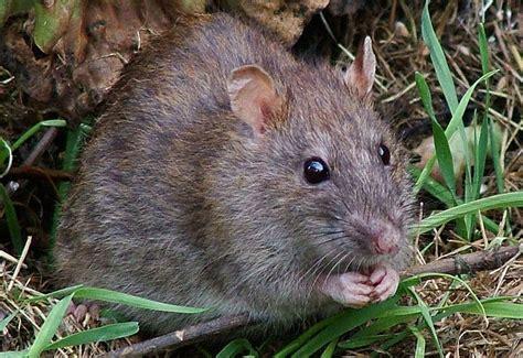do electric cars attract rat squatters inhabitat