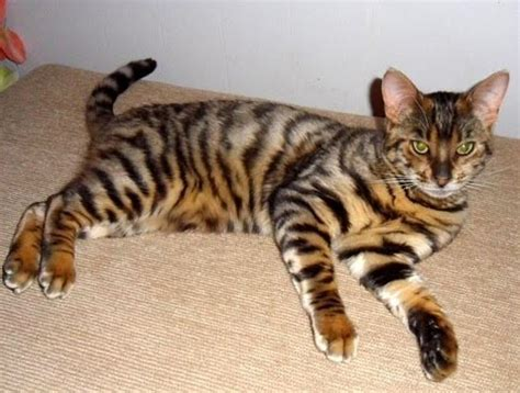 toyger cat toyger cats hq wallpapers