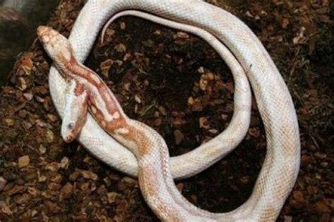 film ular berkepala 7 ular aneh berkepala dua yang sangat mengerikan unik aneh