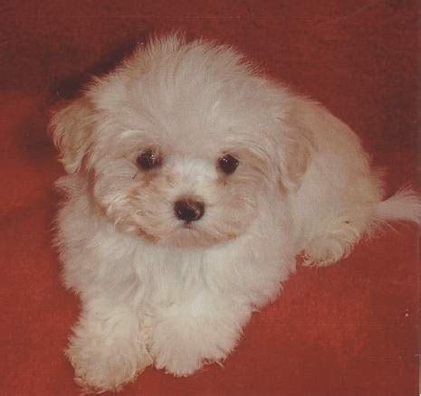 how much do maltese puppies cost maltese pup23 jpg 2 comments