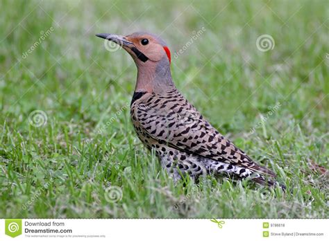 northern flicker colaptes auratus royalty free stock
