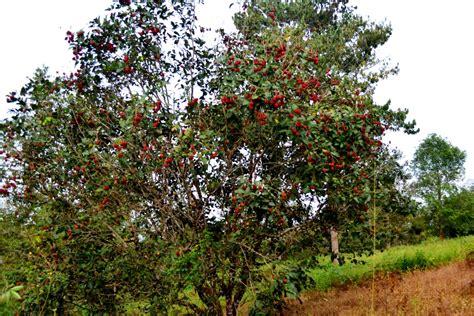 Jual Bibit Rambutan Di Makassar 12 pohon rambutan m